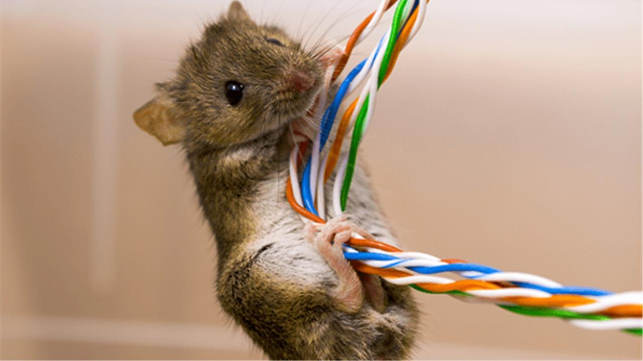 电线电缆经常被老鼠啃咬造成困扰